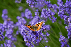 Free Butterfly On Lavender Stock Photo - 32058780