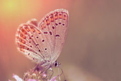 Butterfly On Pink Flower Royalty Free Stock Photography