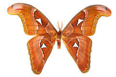 Free Butterfly On White Stock Photos - 25479063