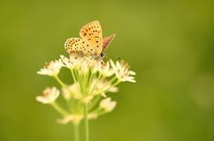 Butterfly on onion flower Royalty Free Stock Image