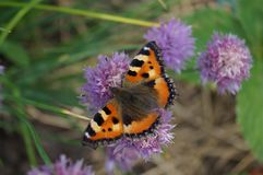 Butterfly on onion flower Stock Image