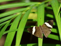 Butterfly with open wings (Colobura dirce) Stock Images