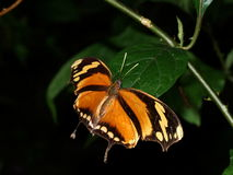 Butterfly with open wings (Consul fabius) Stock Photos