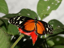 Butterfly with open wings (Heliconius hecale) stock photography