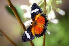 Butterfly with open wings Royalty Free Stock Photo