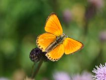 Butterfly with open wings. Scarce copper, Lycaena virgaureae Royalty Free Stock Image
