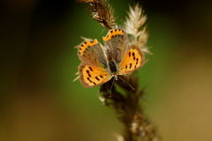 Butterfly with open wings. Scarce copper, Lycaena virgaureae (female) Stock Photo