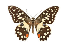 Butterfly with open wings in a top view as a flying. Beautiful butterfly with open wings in a top view as a flying. Papilio demoleus, Papilionidae stock photo
