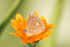Butterfly in orange Royalty Free Stock Photo