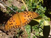 Butterfly. An Orange butterfly stock image