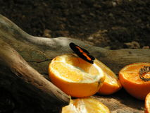 Butterfly on orange. A beautiful butterfly eating an orange Stock Photography