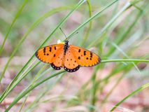 Butterfly Orange Black find nectar on flower of grass Stock Photos