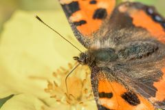 Butterfly sitting on yellow flower. Butterfly orange and black - sitting on yellow flower stock photo