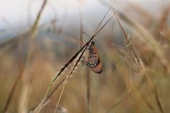 Butterfly. Orange and black spotted butterfly sitting on grass stem stock images