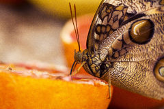 Butterfly on an orange Royalty Free Stock Photo