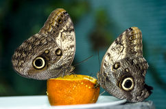 Butterfly on orange Stock Photography