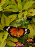 Butterfly. Orange butterly with shite wings sitting on beautiful flowers Royalty Free Stock Images