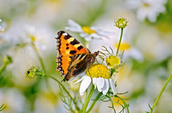 Butterfly orange on a camomile Stock Image