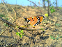 Butterfly. Orange dotted Butterfly on a dry brunch with a dry scortched background unusually with no flower Royalty Free Stock Photos