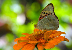 Butterfly on orange flower Stock Photos