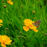 Butterfly on orange flower. On a background of green grass Stock Image