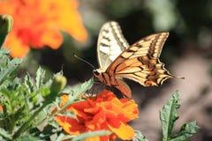 Butterfly on orange flower. Brown butterfly on orange flower Royalty Free Stock Photo