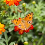 Butterfly on a orange flower Royalty Free Stock Photos