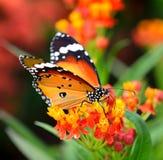 Butterfly on orange flower Stock Image
