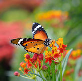 Butterfly on orange flower Royalty Free Stock Photo
