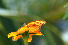 Butterfly on orange flower Royalty Free Stock Image