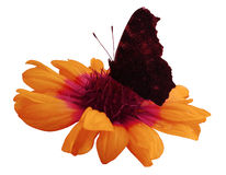 Butterfly on orange  flower  white isolated background with clipping path. Closeup. no shadows. Stock Photo