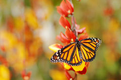 Butterfly in orange flowers. Monarch, Danaus plexippus, butterfly in nature habitat. Nice insect from Mexico. Butterfly in the gre. Butterfly in orange flowers stock photos