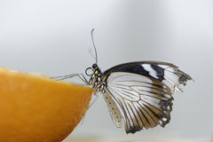 Butterfly on orange Stock Photos