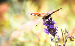 Butterfly. Orange butterfly on lilac flower royalty free stock photography