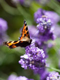 Butterfly. Orange butterfly on lilac flower royalty free stock image