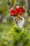 Butterfly on Orange Lily. A butterfly drinks the nectar from an orange starburst lily in Mongolia Royalty Free Stock Photos