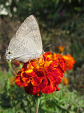 Butterfly on orange marigold Royalty Free Stock Image