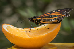 Butterfly on Orange. Monarch Butterfly sitting on an citrus juicy orange stock photos