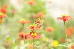 Butterfly. Orange butterfly and orange flowers Royalty Free Stock Photography