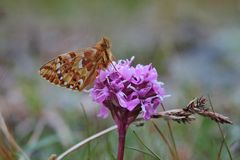 Butterfly. Orange butterfly on pink mountain flower stock image