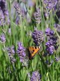 Butterfly. Orange butterfly on purple lavender. Vlinder, kleine vos, op lavendel stock image