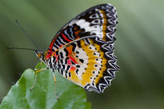 Butterfly orange and red. Orange and red butterfly on a leaf Stock Photos