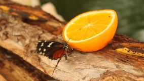 Butterfly on orange slice. Butterfly eating an orange slice on piece of wood stock video