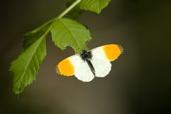 Butterfly/Orange Tip Stock Photo