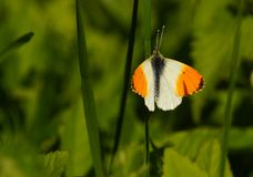 Butterfly - orange tip Royalty Free Stock Photo