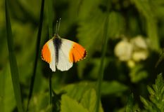 Butterfly - orange tip Stock Photos