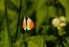 Butterfly - orange tip Stock Images