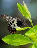 Butterfly on Orange Tree Stock Image