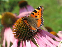 Butterfly with orange wings on flower - Aglais urticae. Closeup of butterfly Aglais urticae sitting on pink flower Stock Photo