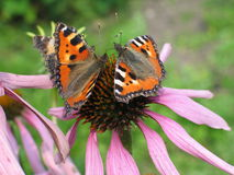 Butterfly with orange wings on flower - Aglais urticae. Closeup of two butterflies species Aglais urticae sitting on pink flower Royalty Free Stock Photography
